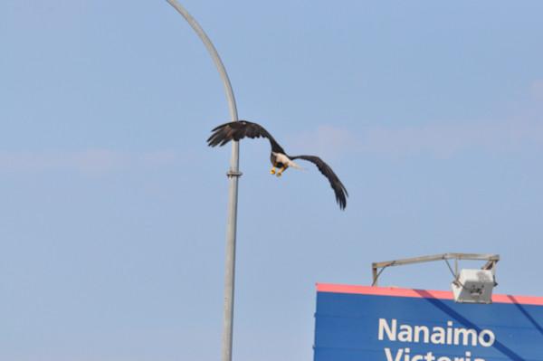 Tsawwassen Terminal Eagles - Photo #1259684 - MH Photography