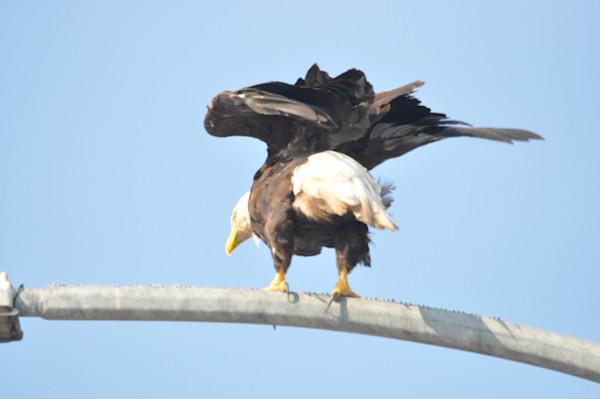 Tsawwassen Terminal Eagles - Photo #1259688 - MH Photography