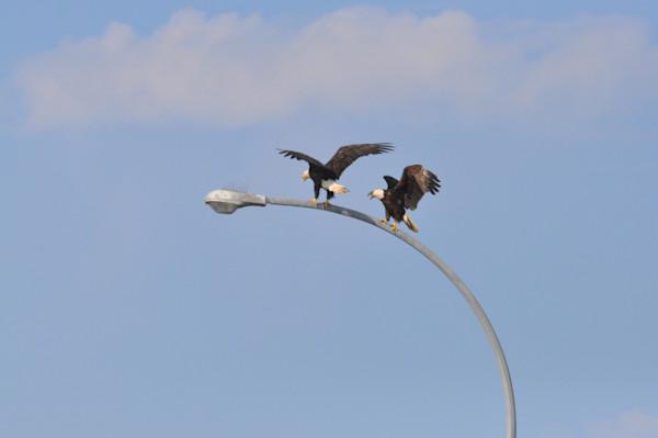 Tsawwassen Terminal Eagles - Photo #1259713 - MH Photography