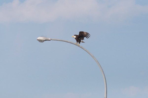 Tsawwassen Terminal Eagles - Photo #1259715 - MH Photography