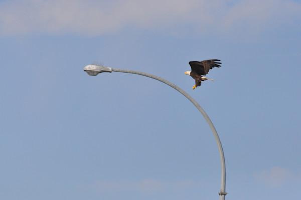 Tsawwassen Terminal Eagles - Photo #1259716 - MH Photography