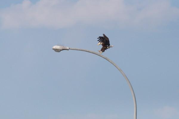 Tsawwassen Terminal Eagles - Photo #1259717 - MH Photography