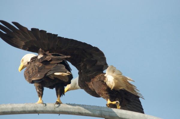 Tsawwassen Terminal Eagles - Photo #1259723 - MH Photography