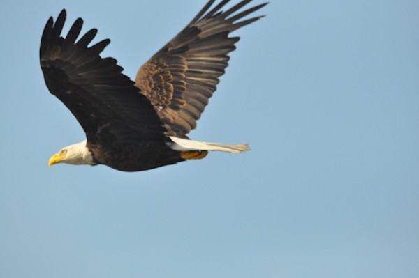 Solitary Bald Eagle in Flight - MH Photography