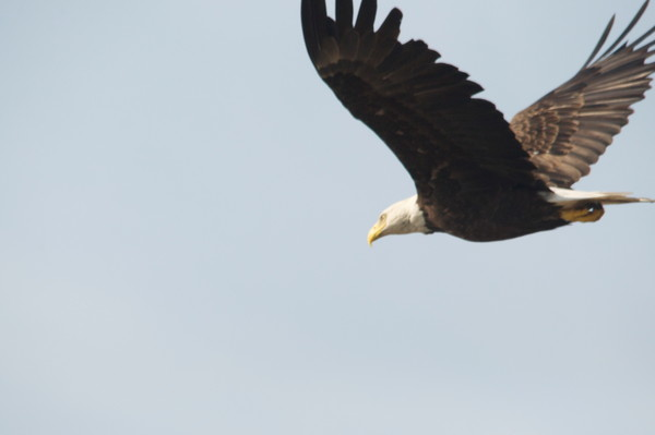 Bald Eagle in Flight - Photo #1259737 - MH Photography