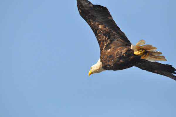 Majestic Eagle in Flight - Product #1259740 - MH Photography