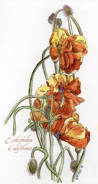 Aug-Poppy