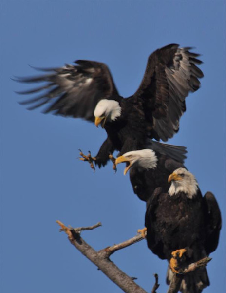 Third Eagle Landing on Branch - MH Photography