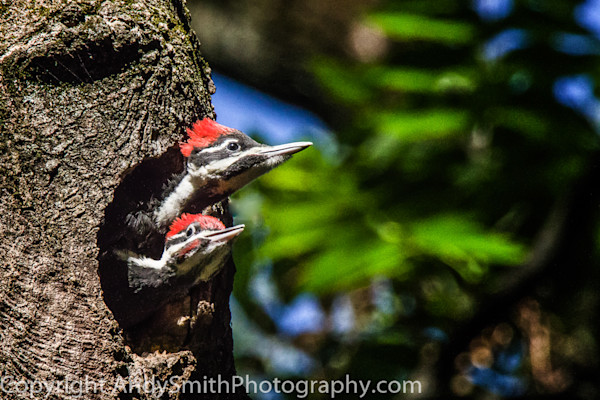fine art photograph of male and female pileated woodpecker juveniles on nest