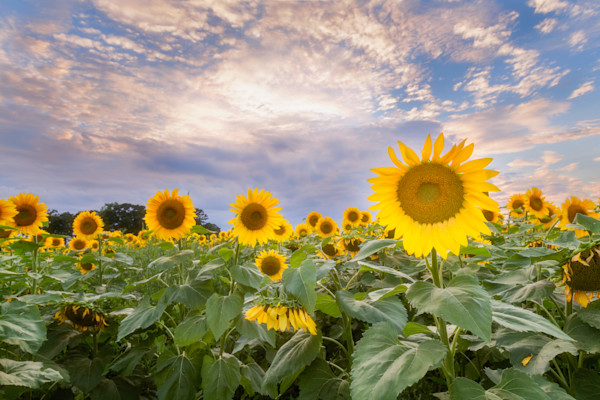Sunflower and Sky, Verona, Wisconsin, USA