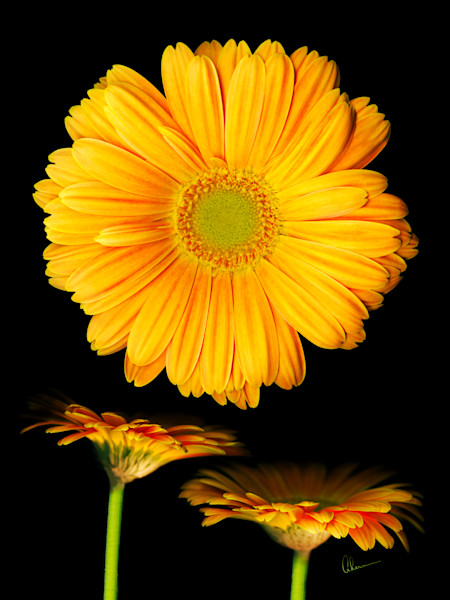 Orange Gerbera Daisies on a contemporary black background by the Artist, Mary Ahern.