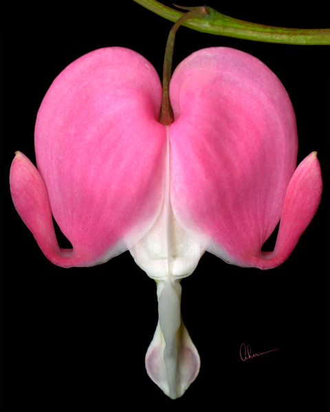 Bleeding Heart art print by the Artist, Mary Ahern