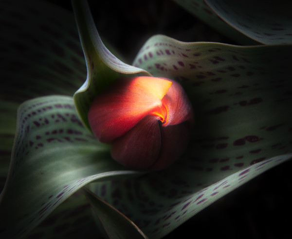 A Tulip of Perfection