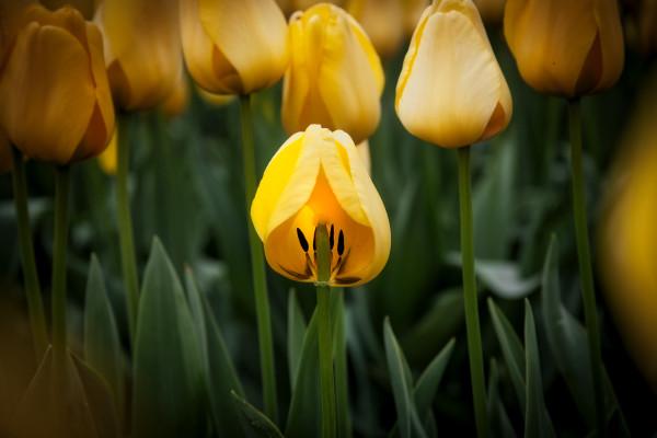 Tulip on the Half Shell