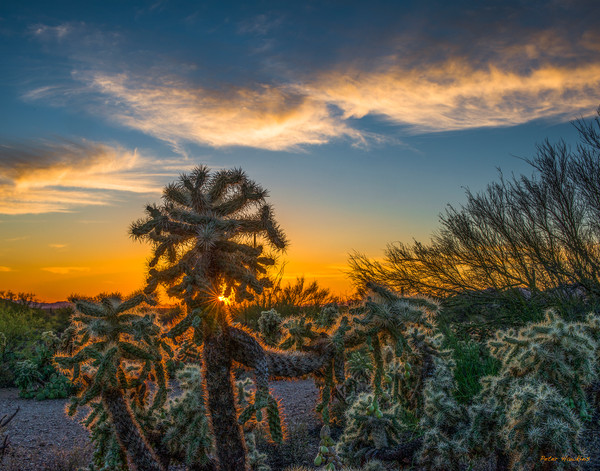 cholla cactus, summer, tucson, arizona, sunset