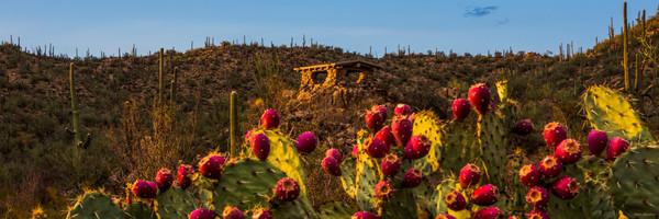 prickly pear cactus, prickly pear, saguaro national park, tucson, arizona