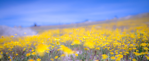 Field Of Gold Photograph For Sale as Fine Art