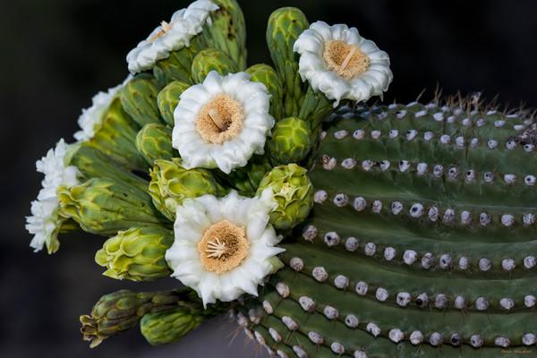 saguaro cactus bloom, saguaro national park, tucson, arizona, flower