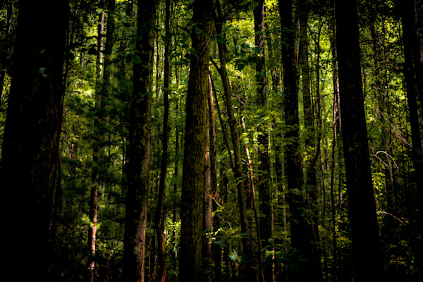 Tall Tall Trees Photograph For Sale as Fine Art