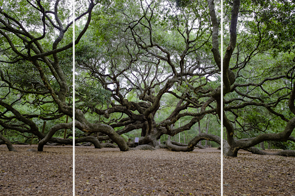 Angel Oak Polyptyk Kevin Blackburn Virginia Fine Artist | Digital Art & Photographs  | Panel Art Wall Panels