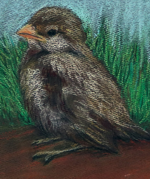 Baby Sparrow, sparrow pastel drawing, Fine Art and Paintings for Sale by Teena Stewart of Serendipitini Studio