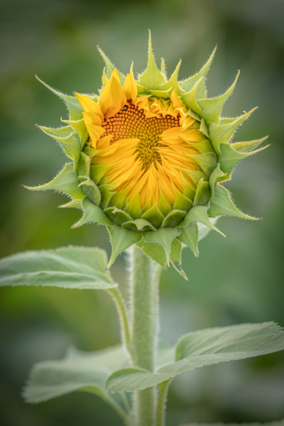 Sunflower Bud for sale as fine art photograph by Mike Jensen.