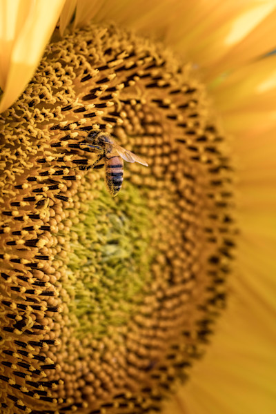 Bee On Sunflower available for sale as fine art photograph by Mike Jensen
