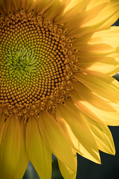 Beaming Sunflower available for sale as fine art photograph by Mike Jensen