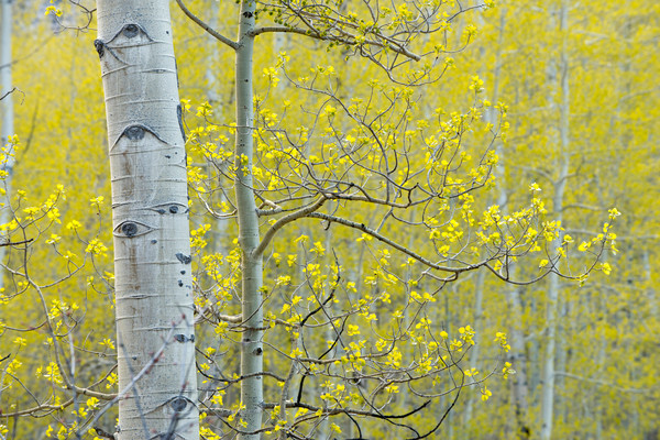 Aspen tree with spring bloom.
