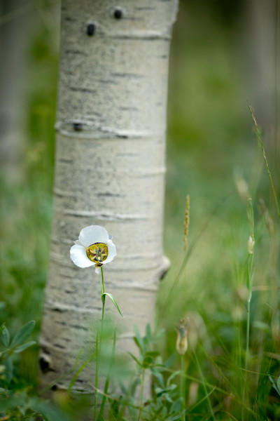 Mariposa Lily against an aspen tree.