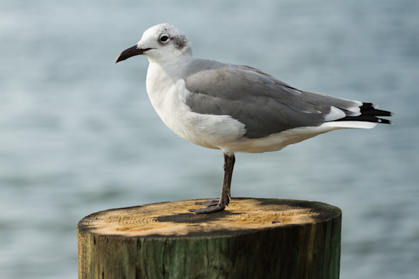 A Fine Art Photograph of Calm Seagull in Chincoteague by Michael Pucciarelli