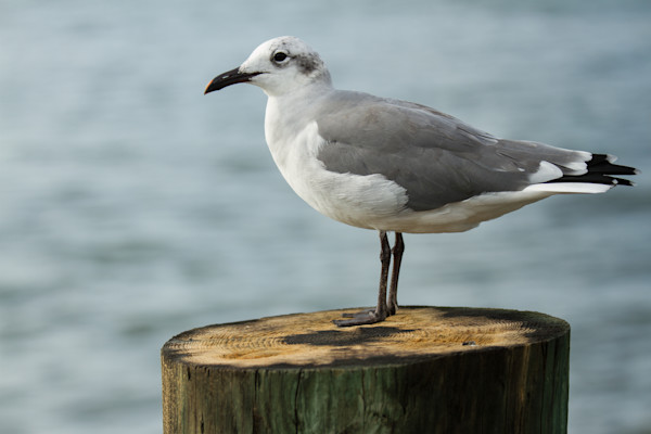 A Fine Art Photograph of a Daydreaming Seagull in Chincoteague by Michael Pucciarelli