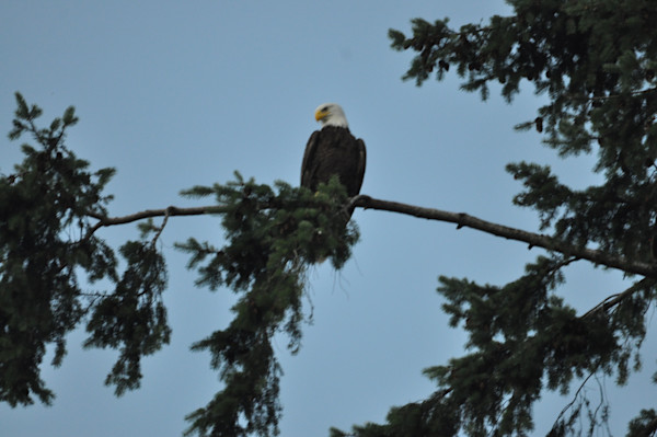 Solitary Eagle Perched on Pine - MH Photography