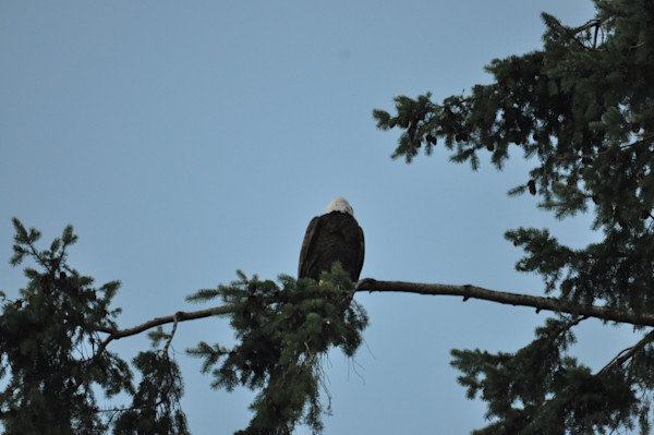 Back View of Solitary Eagle - MH Photography