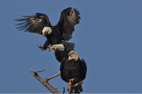 Close Up of Third Eagle Landing on Branch - MH Photography