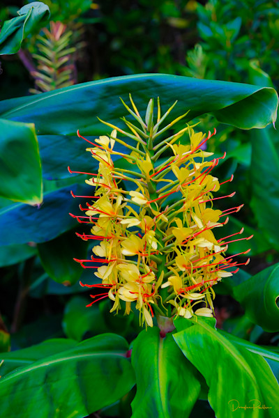 Kahili Ginger Flower, Kilauea, HVNP, Big Island of Hawaii