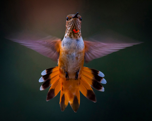 Suspended Rufous