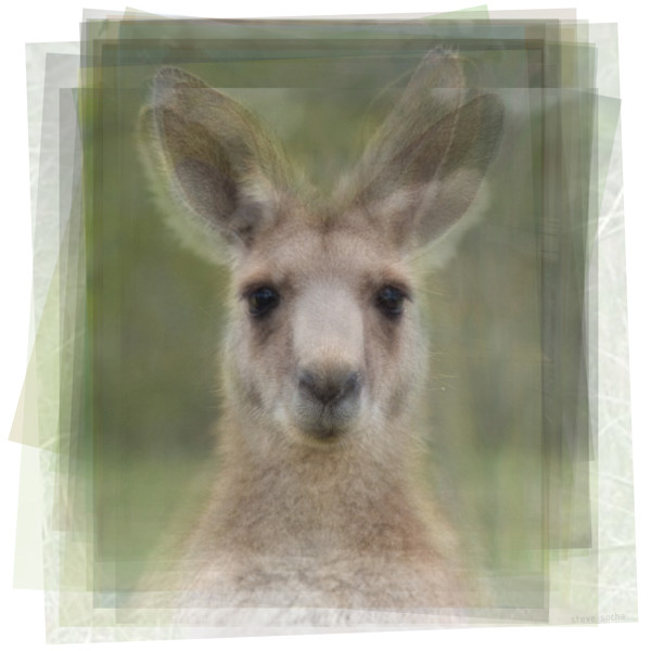 Overlay art – contemporary fine art prints for sale of a kangaroo face