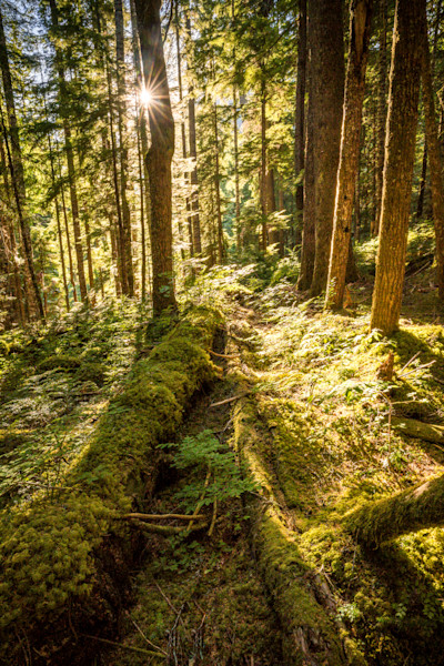 Pacific Northwest Forest Photograph for Sale as Fine Art