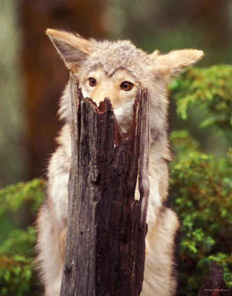coyote, spring, animal,