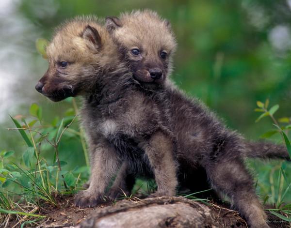 Timber Wolf, pups, wolf