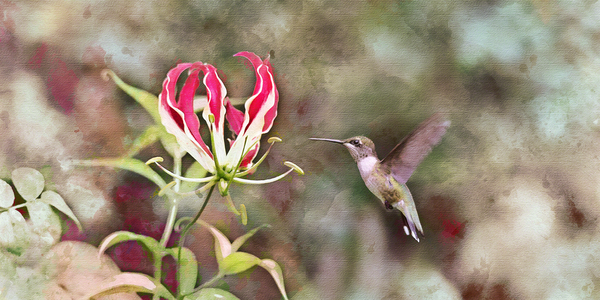 Hummingbird Dreams