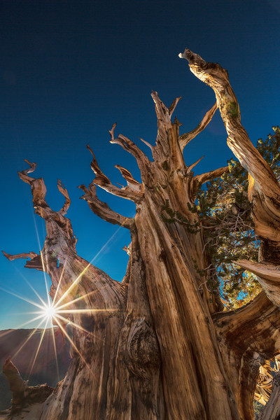 Buy Sunburst on Bristlecone Pine fine art photograph by Mike Jensen