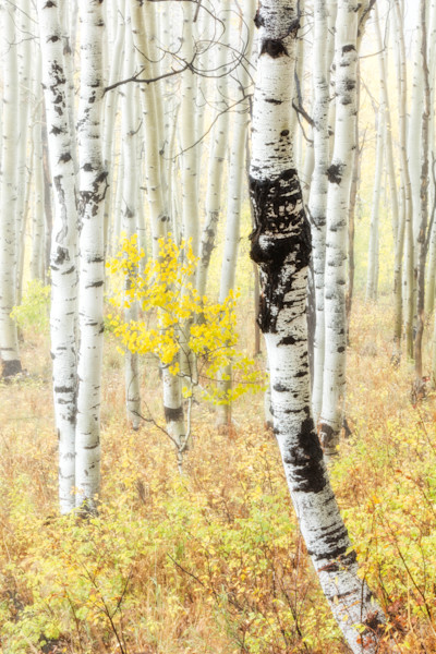 Aspen Trees In The Fog for sale as fine art photograph by Mike Jensen