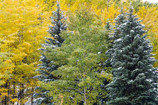 Snow Covered Aspens and Firs for sale as fine art photograph by Mike Jensen