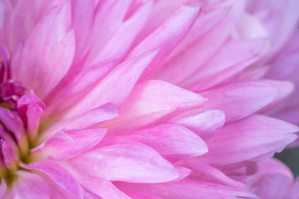 Art Photograph Delicate Pink fleblanc