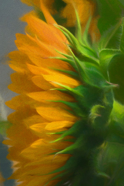 Art Photograph Golden Green Sunflower fleblanc