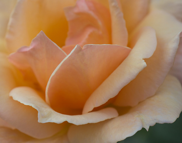Peach Rose Abstract