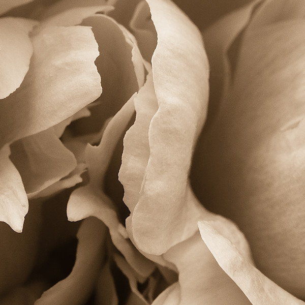 Peony Abstract Sepia