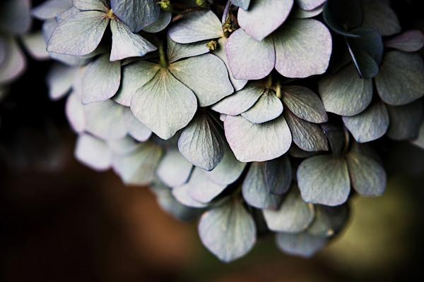 Chandelier Hydrangea